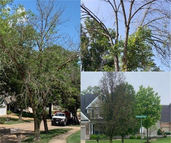 Ash Trees in Wildwood