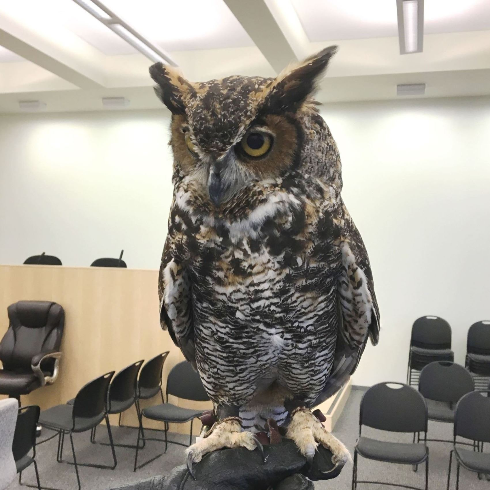 Owl in a classroom
